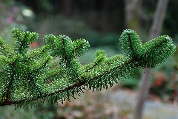Abies Delavayi Landscape Plants Oregon State University