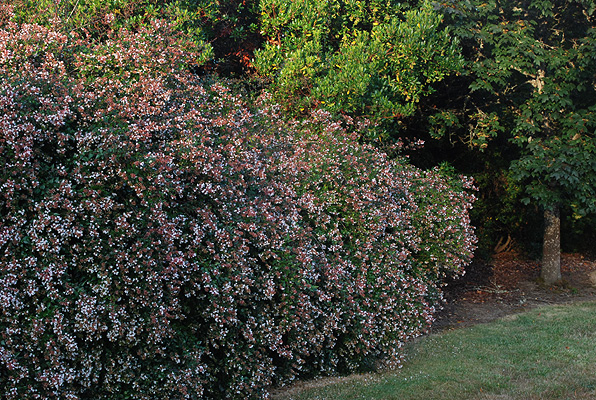 Abelia Edward Goucher Landscape Plants Oregon State University