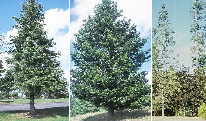 Abies Grandis Landscape Plants Oregon State University