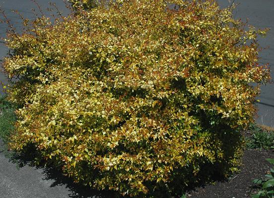 Abelia Grandiflora Francis Mason Landscape Plants Oregon