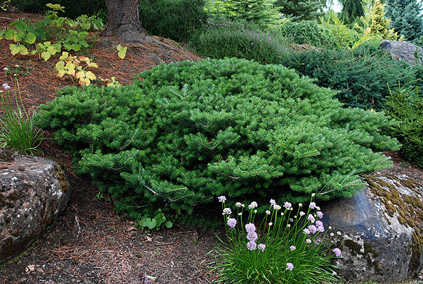 Abies koreana 'Green Carpet' | Landscape Plants | Oregon ... - photo #14