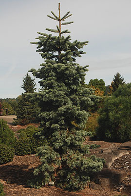 Abies Magnifica Nana Landscape Plants Oregon State University
