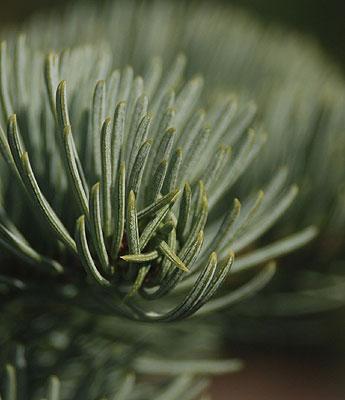 Abies Magnifica Nana Landscape Plants Oregon State University