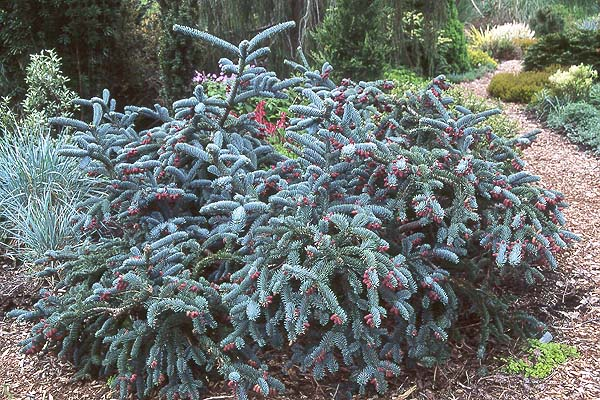 abies procera 39 glauca prostrata 39 landscape plants. Black Bedroom Furniture Sets. Home Design Ideas