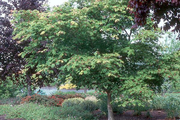 acer japonicum 39 aconitifolium 39 landscape plants oregon state university. Black Bedroom Furniture Sets. Home Design Ideas
