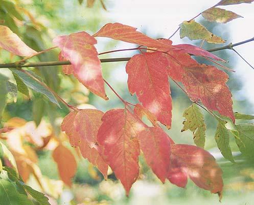 Acer Negundo Sensation Landscape Plants Oregon State University