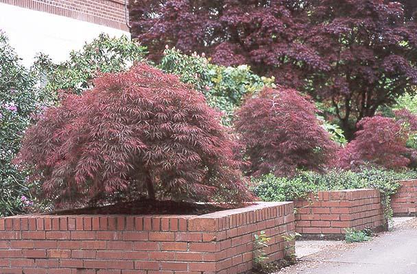 Acer Palmatum Var Dissectum Atropurpureum Ever Red Landscape