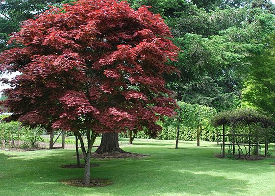 Acer Palmatum Pixie Landscape Plants Oregon State University
