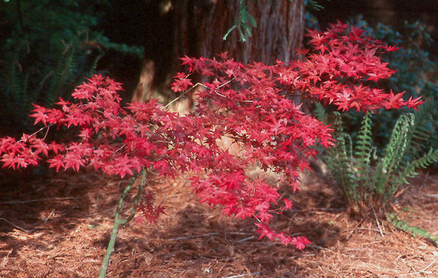 Acer Palmatum Shindeshojo Landscape Plants Oregon State University