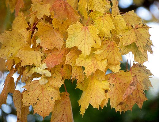 Acer Platanoides Landscape Plants Oregon State University