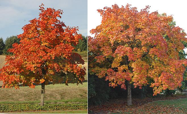 Acer platanoides 39 deborah 39 landscape plants oregon - Arce platanoide ...