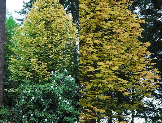 Acer Pseudoplatanus Brilliantissimum Landscape Plants Oregon