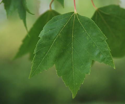 Acer rubrum Red Sunset® | Landscape Plants | Oregon State ...