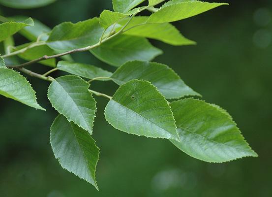 Alnus Japonica Landscape Plants Oregon State University