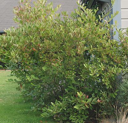 Aronia Arbutifolia Brilliantissima Landscape Plants