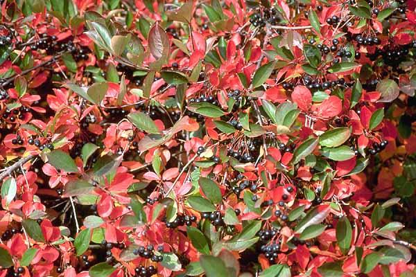 Aronia Melanocarpa Landscape Plants Oregon State