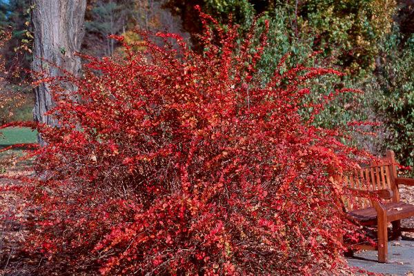 Berberis Emerald Carousel™   Landscape Plants   Oregon ...