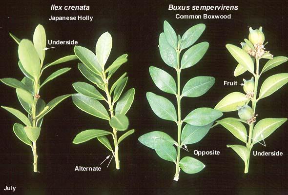 Buxus Sempervirens Landscape Plants Oregon State