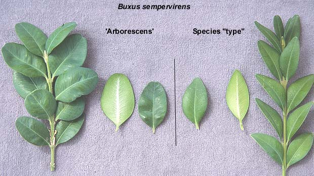 buxus sempervirens 39 arborescens 39 landscape plants. Black Bedroom Furniture Sets. Home Design Ideas