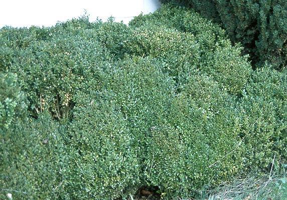 buxus sempervirens 39 suffruticosa 39 landscape plants. Black Bedroom Furniture Sets. Home Design Ideas