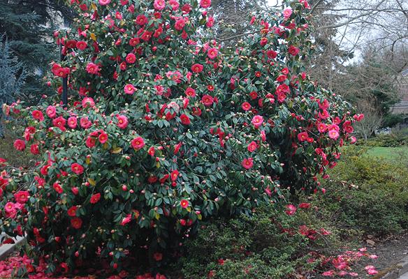 camellia japonica landscape plants oregon state university. Black Bedroom Furniture Sets. Home Design Ideas