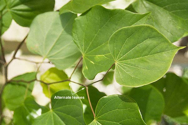 Cercis Canadensis Leaves