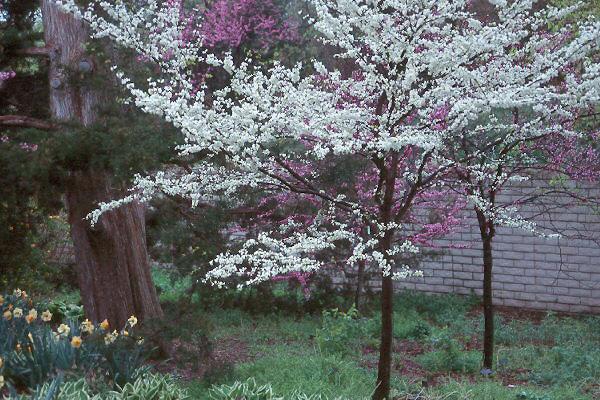 Cercis Canadensis Var Alba Landscape Plants Oregon