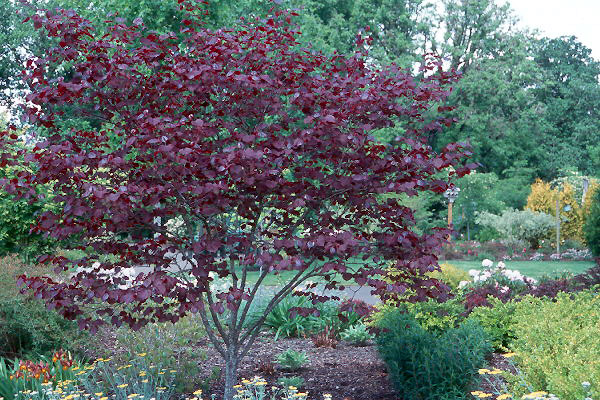 cercis canadensis 39 forest pansy 39 landscape plants. Black Bedroom Furniture Sets. Home Design Ideas