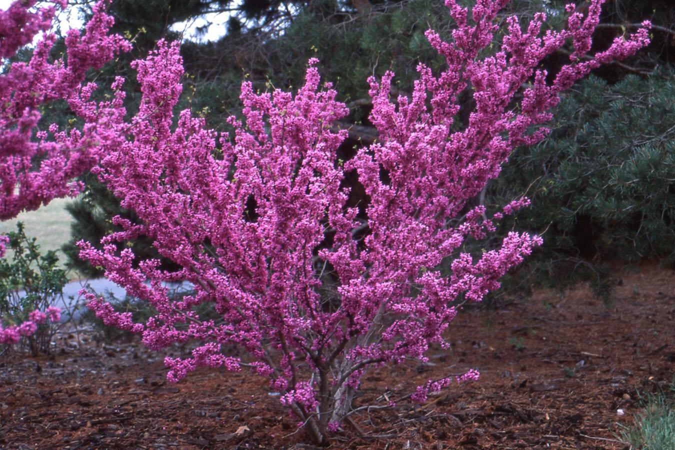 только декоративные розовые деревья названия и фото версию фигуры