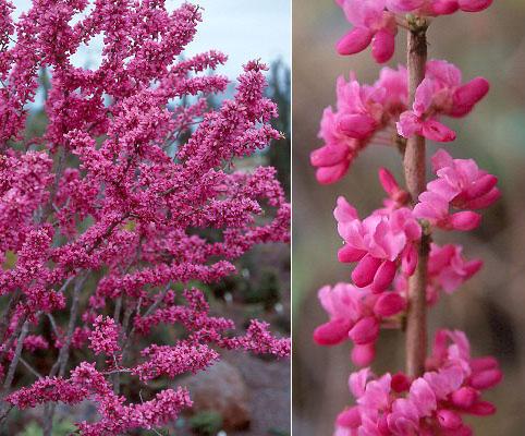 Cercis Chinensis Avondale Landscape Plants Oregon
