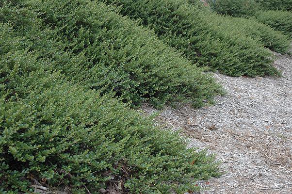Ceanothus Gloriosus Landscape Plants Oregon State