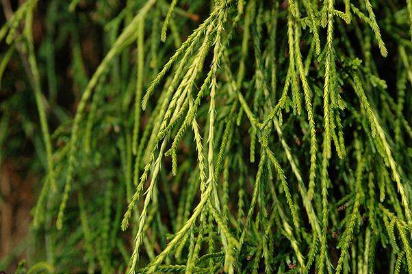 Chamaecyparis pisifera 'Filifera Aurea' | Landscape Plants ...