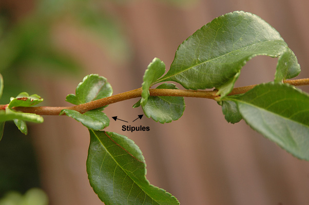 Chaenomeles Speciosa Landscape Plants Oregon State