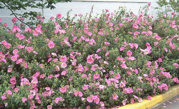 Cistus purpureus landscape plants oregon state for Flowering landscape plants