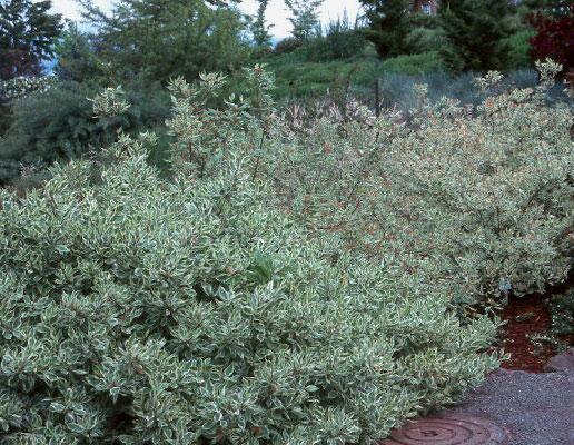 cornus alba 39 elegantissima 39 landscape plants oregon state university. Black Bedroom Furniture Sets. Home Design Ideas