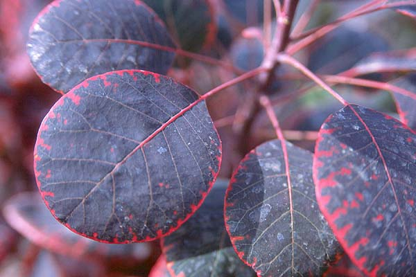 cotinus coggygria 39 royal purple 39 landscape plants. Black Bedroom Furniture Sets. Home Design Ideas