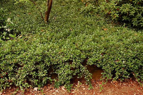 Cotoneaster Dammeri Landscape Plants Oregon State