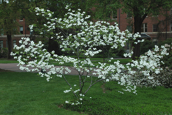 Cornus florida landscape plants oregon state university plant habit white flowering mightylinksfo