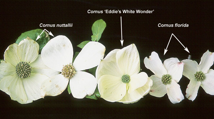 Cornus Eddies White Wonder Landscape Plants Oregon