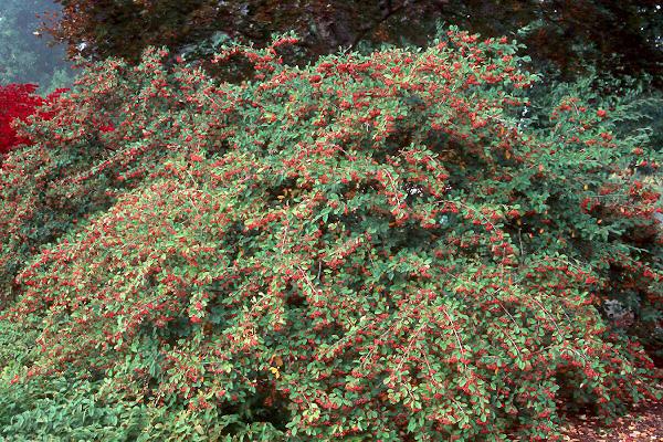 Cotoneaster lacteus | Landscape Plants | Oregon State ...