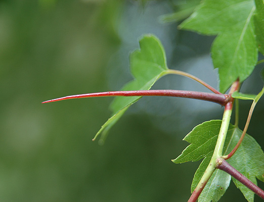 West Alabama University >> Crataegus phaenopyrum | Landscape Plants | Oregon State ...