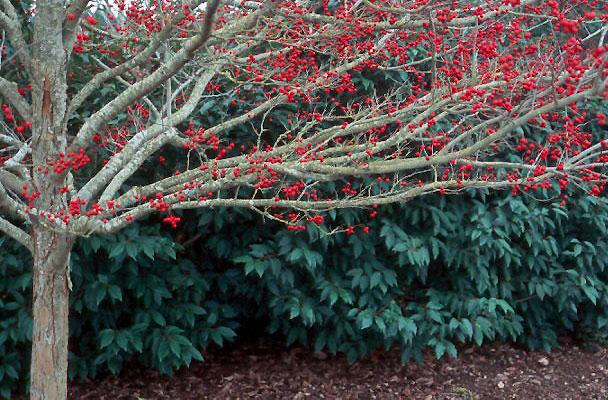 Crataegus Viridis Winter King Landscape Plants