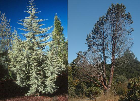 Cupressus Glabra Landscape Plants Oregon State University