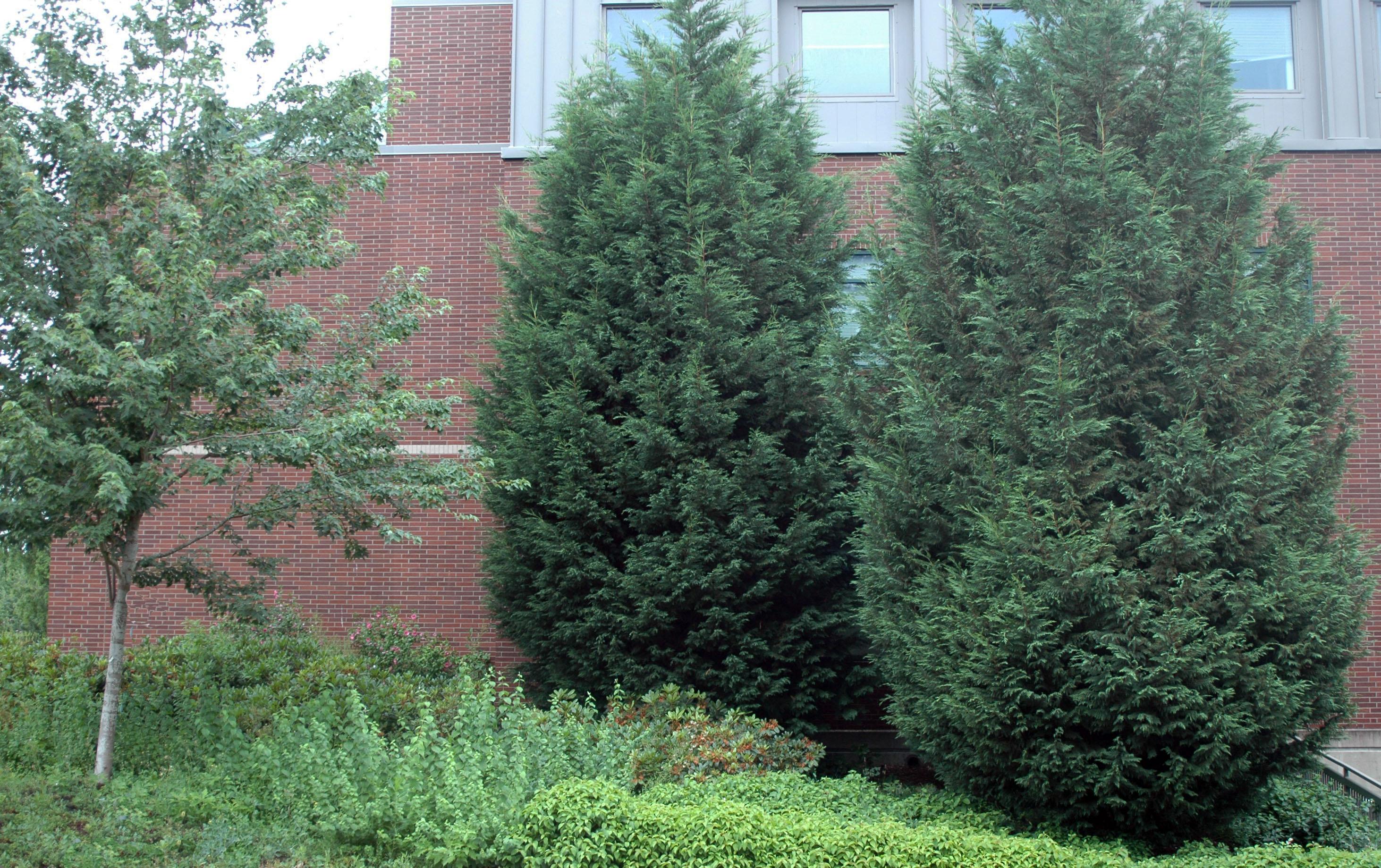 Cuprocyparis Leylandii Emerald Isle Landscape Plants Oregon State University
