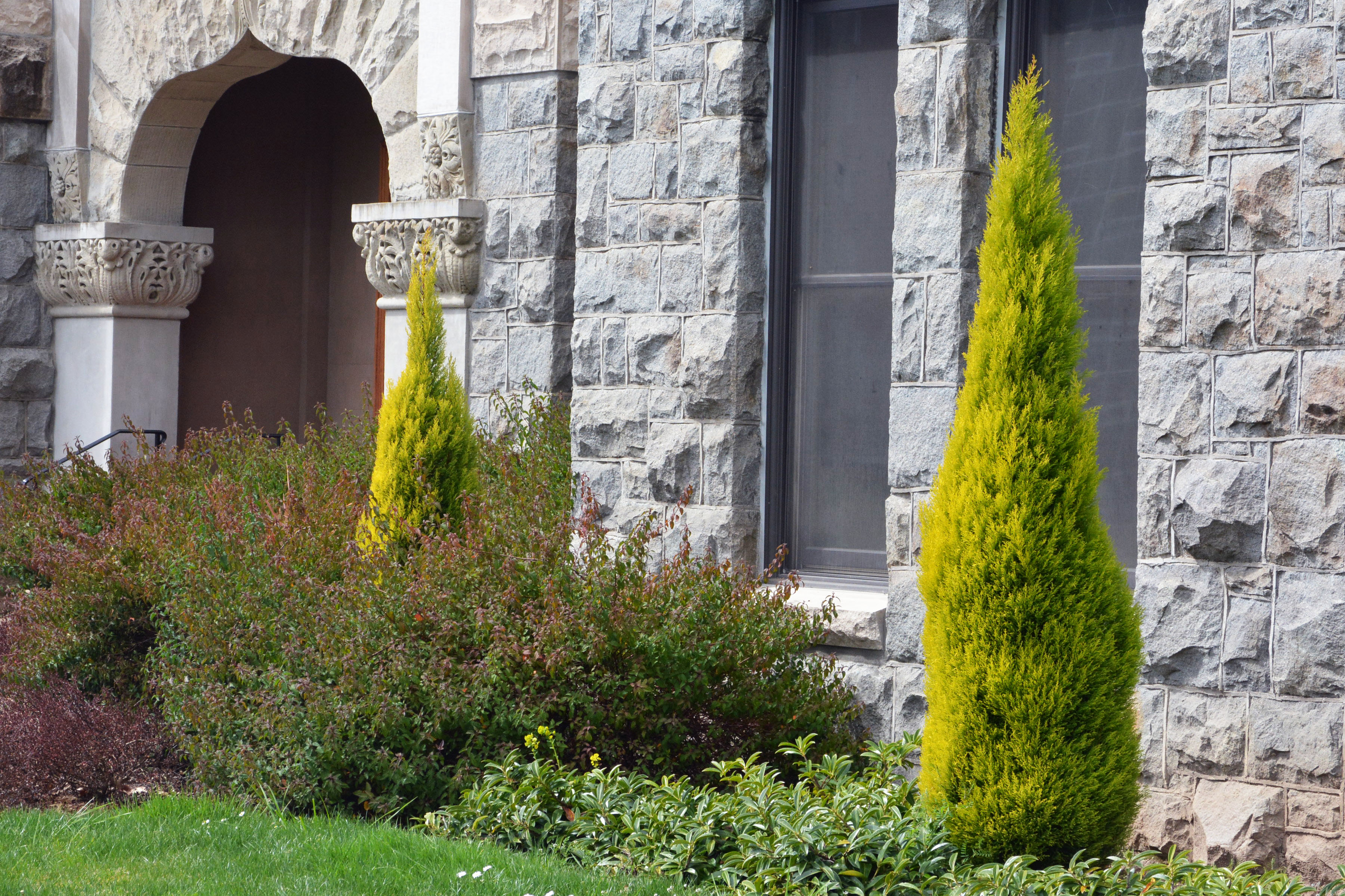 Cupressus Macrocarpa Wilma Goldcrest Landscape Plants