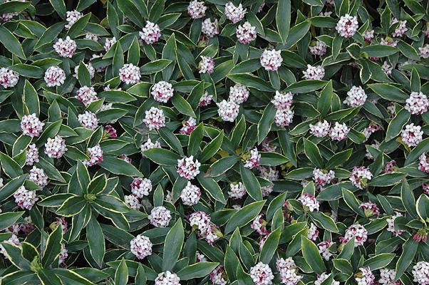 Daphne Odora Marginata Landscape Plants Oregon State