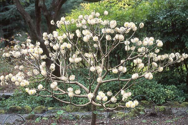 Edgeworthia chrysantha landscape plants oregon state for Edgeworthia chrysantha
