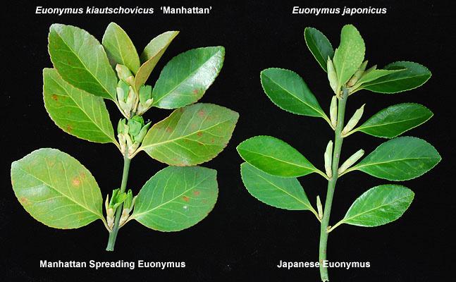Euonymus 215 Kiautschovicus Manhattan Landscape Plants