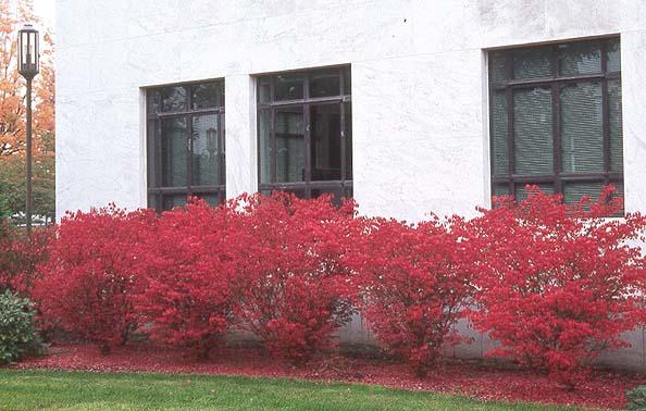 Euonymus Alatus Compactus Landscape Plants Oregon