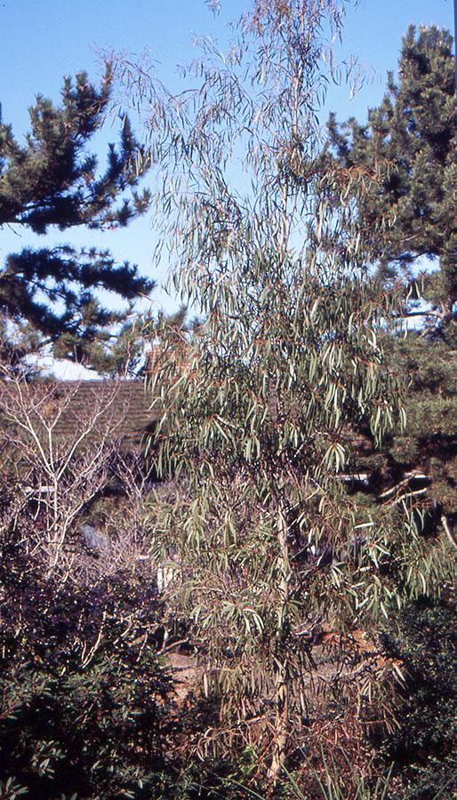 Eucalyptus Rodwayi Landscape Plants Oregon State University